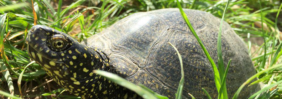 Recovering the European Pond Turtle