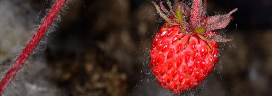 Woodland strawberry monitoring: an example of international collaboration despite covid-19.