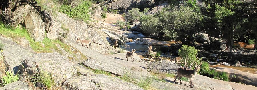 Does the Iberian Ibex influence the microscopic biodiversity of the National Park?