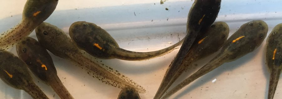 A Note of Color: Marking Tadpoles with Elastomers